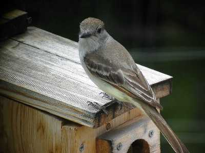 Ash Throated Flycatcher at Nest Box