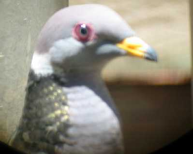 Band-tailed Pigeon Head