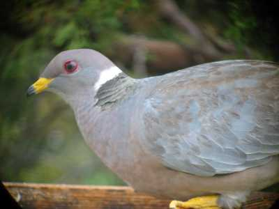Band-tailed Pigeon at Feeder