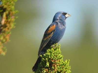 Blue Grosbeak in juniper