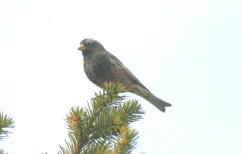 Black Rosy-finch 23 FEB 04