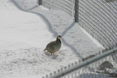 Chukar under Feeder #2 23 FEB 04