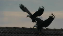 Eagles Courting