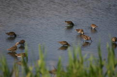 Dowitchers Feeding