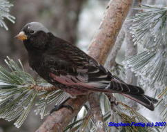 Adult Black Rosy-finch