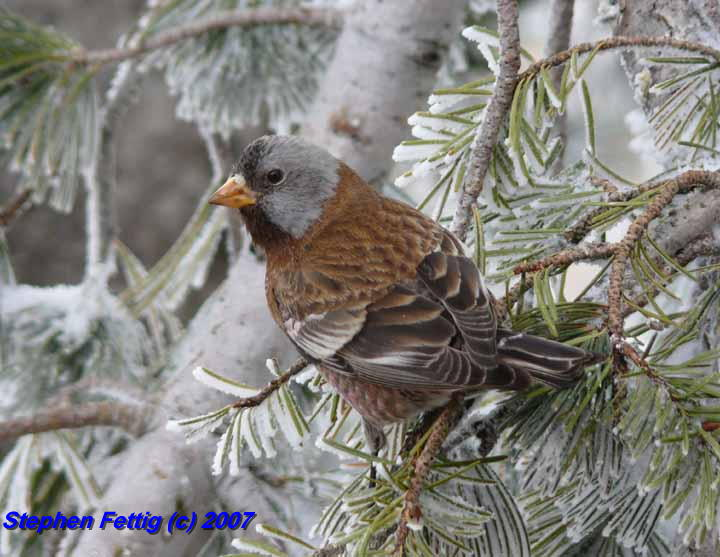 Gray-crowned Rosy-Finch (Hepburn's)