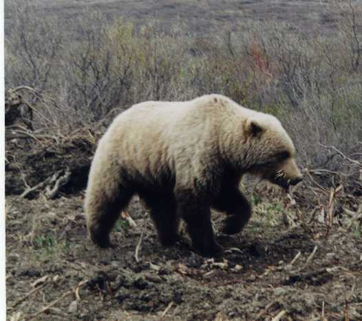 Grizzly with Porcupine Quills