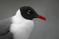 Laughing Gull Head