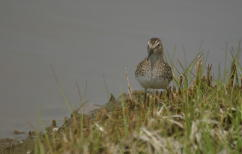 Least Sandpiper Breast