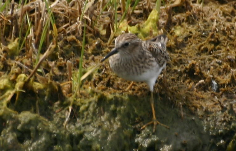 Least Sandpiper leg color