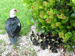 Mama Muscovy with 14 ducklings