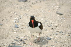 Oystercatcher Bill, frontal view
