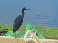 Little Blue Heron on Patio SEP06