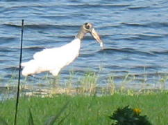Wood Stork from patio September 06