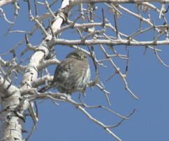 Northern Pygmy-owl 09 FEB 05