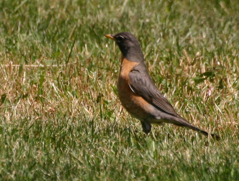American Robin (NJ May 2007)