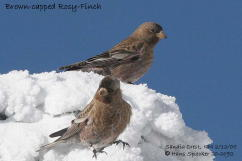 Hans Spiecker's Brown-capped Rosy-finch
