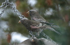 Detail view of 2 Black Rosy-finches at feeder 23 FEB 04