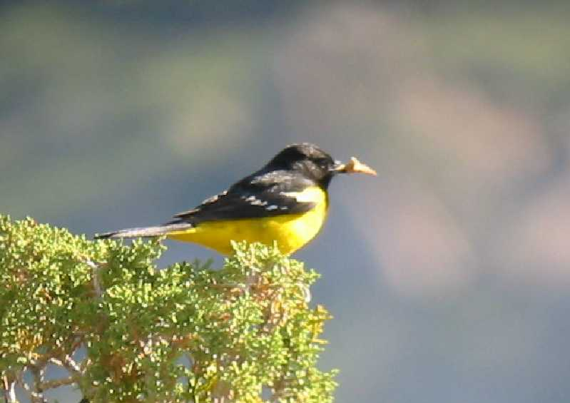 Scotts Oriole