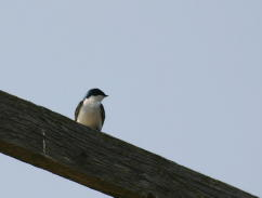 Tree Swallow, Adult