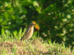 Northern Wheatear September 19, 2006 ENP